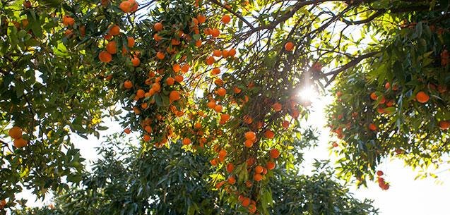 Mandarins, Oranges, Lemons and Grapefruit